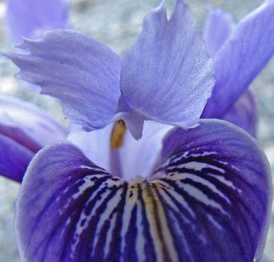 Iris (1).jpg