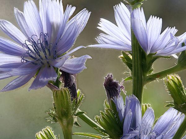 Chicory3AW86.jpg