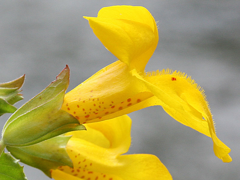 Mimulus5AW