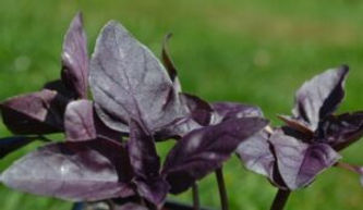 Basil-Deep-Purple-600x347-1-300x174.jpg