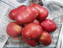 Potato-Robinta-600x454-1.jpg