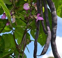 Blauhilde-beans.jpg