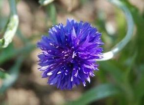 Cornflower-Blue-300x219.jpg