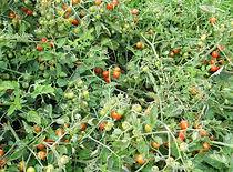 Tomato-Koralik.jpg