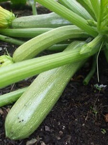Genovese courgettes