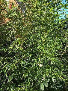 Bamboo-768x1024.jpg