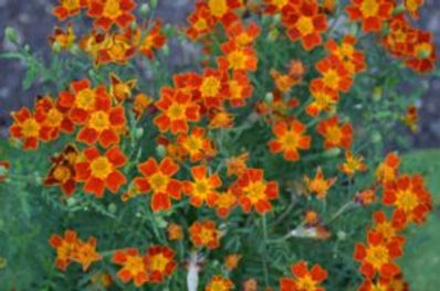 Tagetes-Orange-600x398-1-300x199.jpg