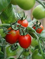 Tomato-Principe-Borghese.jpg