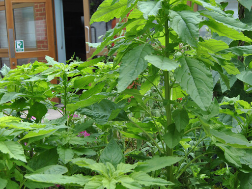 Amaranth-growing-well-1024x1024.jpg