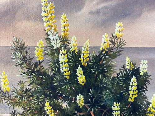 Tree lupins, Heritage Coast. By Evangeline Dickson