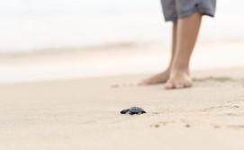 Turtle Hatchling release and safeguarding