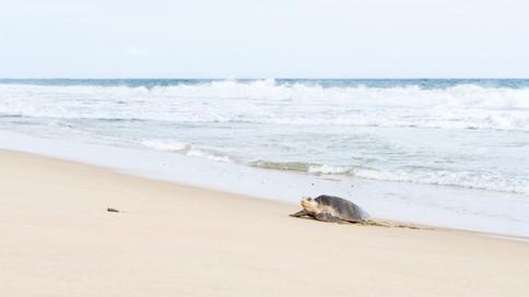 The Arribada, the massive olive ridley turtle landing