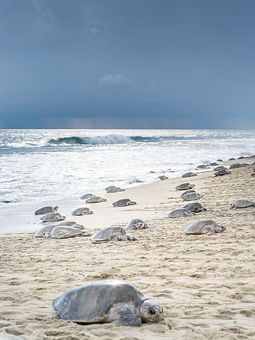 The Arribada, the massive olive ridley turtle landing