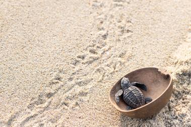 Turtle Hatchling Release