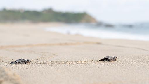 Turtle Hatchlings racing to the ocean