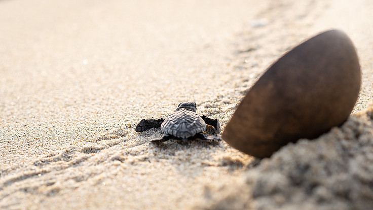 Turtle Hatchling on its way to the ocean