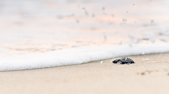 Turtle Hatchlings's first wave