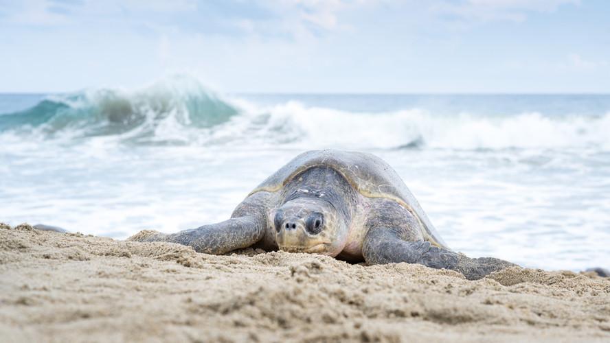Mexico Golfina Turtles