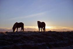 Icelandic Poneys