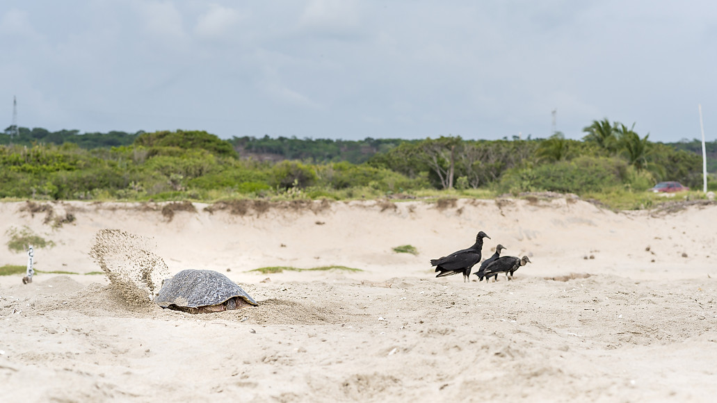 Vultures getting ready for the big feast : Eggs and dying turtles.