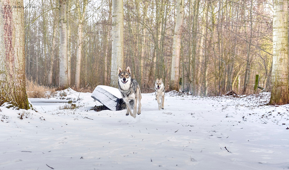 Rappel de Meika et Kleo, deux chiens loups de saarloos