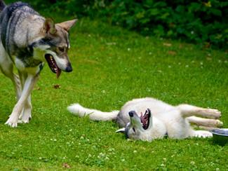 Malak, le Husky qui mangeait tout!