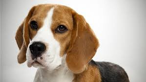 Eric Olson, professor and chair of molecular biology at UT Southwestern Medical Center, reported that he and his team successfully used CRISPR to correct the genetic defect responsible for Duchenne muscular dystrophy in four beagles bred with the disease-causing gene.