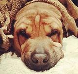 #Irie the #ballofwrinkles #wrinkles #sha