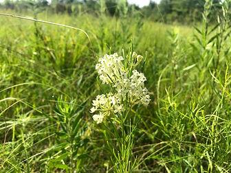 whorled milkweed.jpg