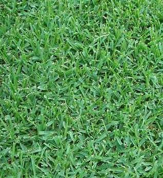 augustine_grass