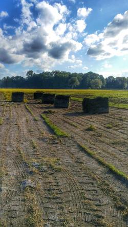 Circle T's beautiful Bahia sod field 2