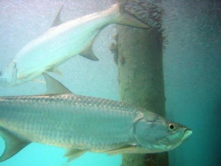 Tarpon Fishing@Homosassa Backcountry Fishing