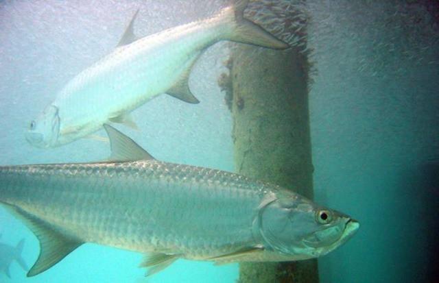 Saltwater Tarpon Fishing w/Capt. Matt Locklear