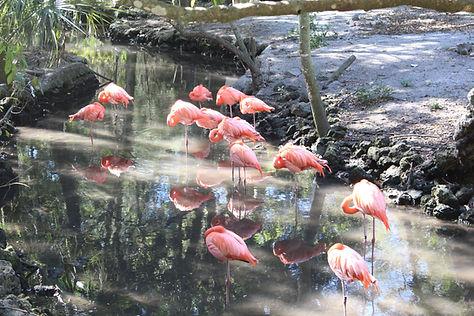 Homosassa Wildlife Park- Flemingo