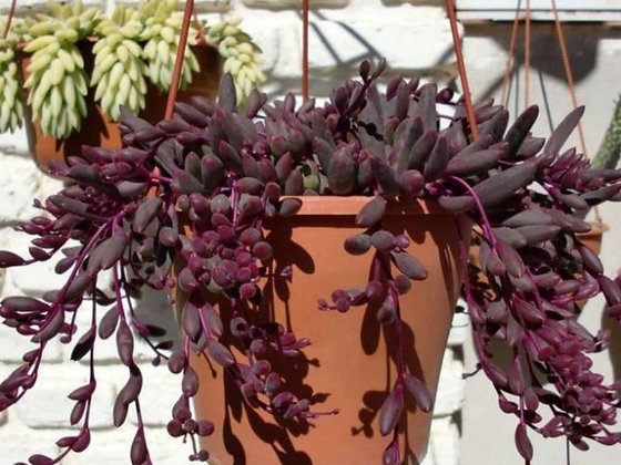 Othonna capensis 'Ruby Necklace'
