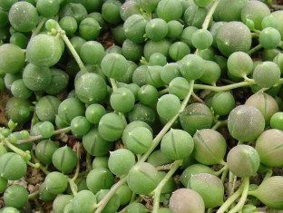 String of Pearls, Senecio Rowleyanus