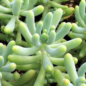 Sedum pachyphyllum - Blue Jelly Bean