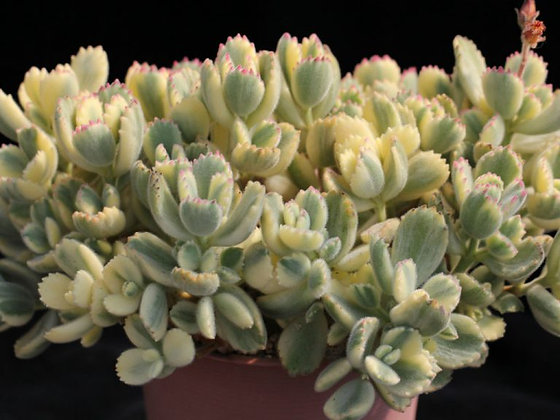 Variegated Cotyledon tomentosa - Bear's Paw [fragile leaves]