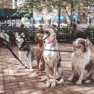Multiple Dogs