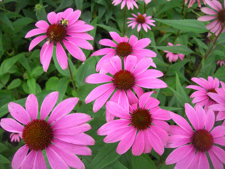 Taking the Right Echinacea at the Right Time? Find Out Here!