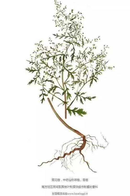 Artemisia Annua (Qing Hao)