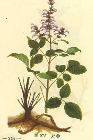 Salviae Miltiorrhizae Radix (Dan Shen)