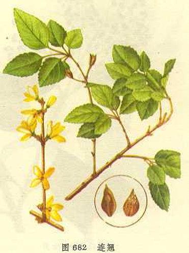 Forsythiae Fructus (Lian Qiao)