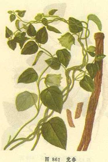 Codonopsis Pilosulae Radix (Dang Shen)