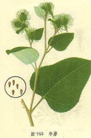 Arctii Frutus (Niu Bang Zi)