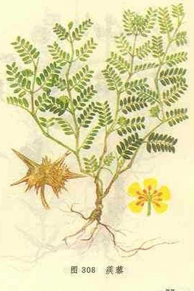 Tribuli Fructus (Ji Li)