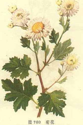 Chrysanthemi Flos (Ju Hua)