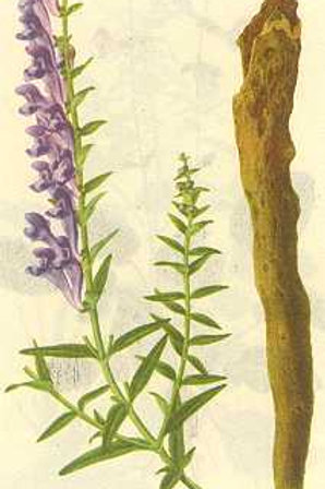Scutellariae Radix (Huang Qin)
