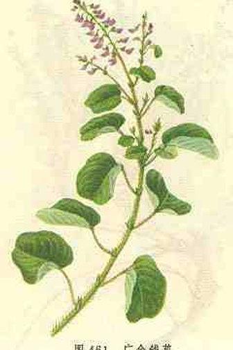 Desmodii Styracifolii Herba (Jin Qian Cao)