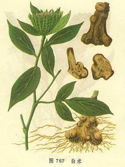 Atractylodis Rhizoma Crudo (Sheng Bai zhu)